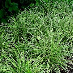 Carex morrowii 'Ice Dance' (Ice Dance Sedge | Versatile Sedge for sun or shade. Bright white variegation runs along leaf margin. Plant spreads by rhizomes and works well as a groundcover or specimen. Semi-evergreen; drought tolerant once established. Insignificant brown flower | Full to part shade | Height: 8-12 in | Width: 12-18 in | Soil Conditions: Moist/Well Drained | Flower Color: Brown | Bloom Time: May,June | Hardiness Zone: 5 TO 9 | Midwest Groundcovers