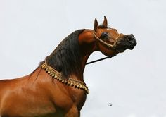 STIVAL  (*Gazal Al Shaqab × Paloma De Jamaal) 2006 Bay Purebred Stallion
