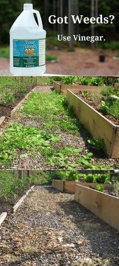 Natural Herbicida vinagre 1 galón, media taza de sal, pizca de detergente para vajillas (hace que se pegue a las malas hierbas).  Mezclar bien, el aerosol en las malas hierbas de la mañana, se regocijan en su muerte esa noche.  Esto funciona mejor en un día soleado.