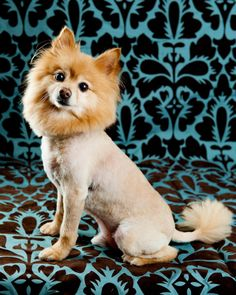 www.photographybytanya.com Cute pomeranian with a lions haircut.