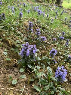 A carpet of Bugleweed - a species of mint - found in our 10 acres semi-ancient natural woodland dating back to 1600 or before here at Williamston Barns. #Williamstonbarns #NorthPennines #NorthPennAONB #northumberland #visitnorthumberland #familyholiday #slaggyford Luxury Holiday Cottages, Holiday Accommodation, Luxury Holidays, Barns, Wilderness, Acre, Woodland, Natural Beauty, Dating