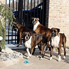 """""""The boxers always on guard❤️#boxer #boxerdog #boxersofinstagram #bully #bulldog #mastiff #mastiffsofinstagram #dog #doglover #dogsofinstagram #instadog #instagood #instalove #instagreat #love #life #latergram #hi #pets #puppy #picoftheday #photooftheday #pictureoftheday #blessed"""" Photo taken by @gypsiegirls on Instagram, pinned via the InstaPin iOS App! http://www.instapinapp.com (04/11/2015)"""