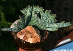 Monvillea spegazzinii forma cristata (Type A)