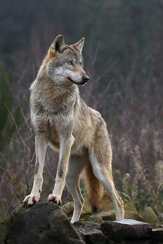 The Alpha Wolf - via S Kaur- IaMaPeAcElOvEr's photo on Google+