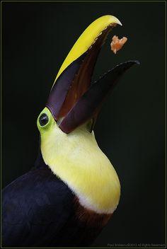 """chestnut-mandible toucan (rhamphastos swainsonii), costa rica"" | paul bratescu"