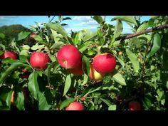 Fairview Fruit Farm (Fruit free of chemicals and GMOs) (Ronks) Apple Theme Classroom, Preschool Apple Theme, Wild Plum Tree, Apple Life Cycle, Apple School, Apple Unit, Rose Family, Apple Seeds, Kindergarten Science