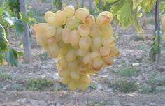 Eva sorta grozdja brez pešk prekrasni veliki grozdi