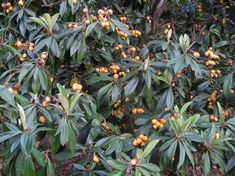 CHRISTMAS LOQUAT TREE | Just Fruits and Exotics