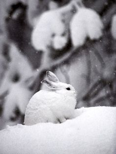 Winter: Snowshoe Hare by Michael S. Quinton, nationalgeographic #Winter #Snowshoe_Hare #Michael_S_Quinton #nationalgeographic