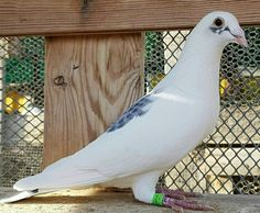 Pigeon Auction, Pigeon Pictures, Homing Pigeons, Love Your Pet, Lofts, Haiku, Pakistan, Racing, Birds
