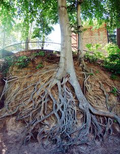 "Medusa Tree - Greenville South Carolina. Within the beautiful Falls Park in downtown Greenville, you will find this amazing tree. Referred to as the ""Falls Park Tree"" – or sometimes the ""Medusa Tree"" – its exposed, gnarled roots are one of the park's most popular sights."