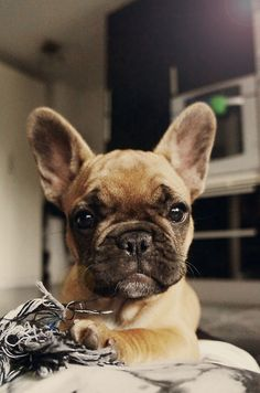"""This is the Fringe I've picked out for my new Daybed....When can I pick it up?"".  Very Bossy French Bulldog Puppy."