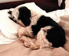 My Tibetan Terrier boy, Alfie!