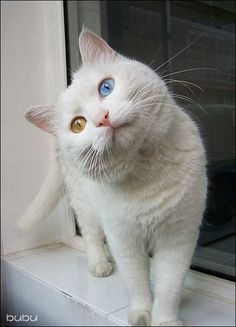 Sometimes white cats tilt their head like this and it makes me happy.