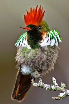 Frilled coquette (Lophornis magnificus) is a species of hummingbird found only in Brazil