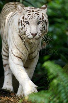 2934204-white-tiger.jpg (532×800)