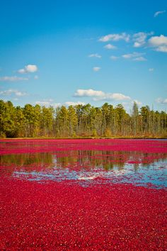 Happy Thanksgiving!  just-breezy:    Whitesbog Village cranberry bog… | Loralea Kirby