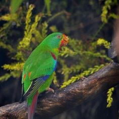 The endangered swift parrot is currently on it's 5000km northern migration from Tasmania, up the New South Wales coastline, on to southern Queensland and back.