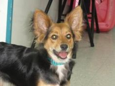 Pip is an adoptable Terrier Dog in Freeport, IL.  ...
