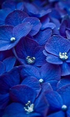 Blue   Blau   Bleu   Azul   Blå   Azul   蓝色   Color   Form   Texture   hydrangea