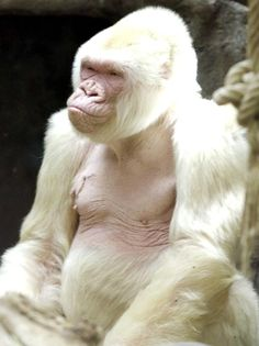 Snowflake was an albino western lowland gorilla. He was a celebrity at the Barcelona zoo in Spain where he lived from 1996 until his death, November 24, 2003.