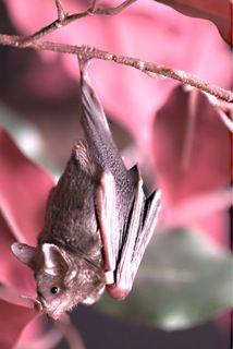 red winged fruit bat