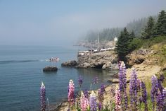 halls harbour nova scotia...love the lupin!