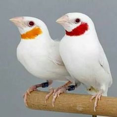 #diamantedegolado albino com variação de cor! Perfeito..
