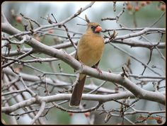 A female red cardinal in the garden.