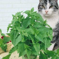 Catnip Seeds #catsincare - Care for cat at Catsincare.com!