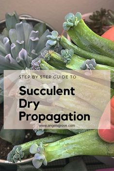 Succulent Dry Propagation Guide - Angel's Grove