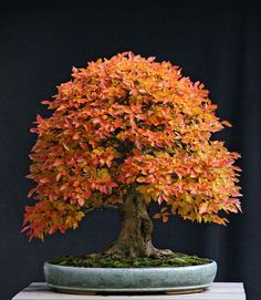 Stunning #bonsai tree in autumn color