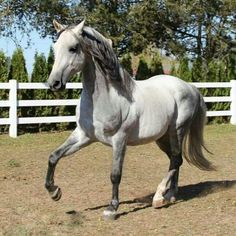 Rare Silver Morgan, horse, hest, fence, presenting, beautiful, animal, shade of grey, dust,  gracious, mythical, cute, nuttet, photo. Pretty Horses, Horse Love, Beautiful Horses, Animals Beautiful, Rare Horses, Clydesdale Horses, Morgan Horse, Horse World, Majestic Animals