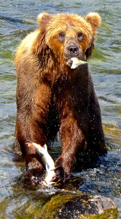 This brown bear from Brooks Falls at Alaska's Katmai National Park looks like he's caught with his hand in the proverbial cookie jar!