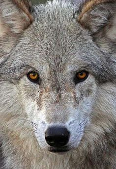 Timber wolf closeup. Barry Steven Greff 'Of the Wild' photography series is an amazing illustration of nature closeup. Greff, an accomplished photographer in the fine art/commercial realm portrays the animals portraits in a straight-on, fierce and awe-inspiring manner. Via trendhunter. Tier Wolf, Wolf Spirit, My Spirit Animal, Fauna, Wolf Face, Wolf Eyes, Amber Eyes, Wild Life, Beautiful Wolves