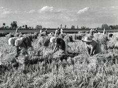 Mietitura del riso a mano