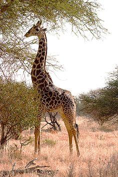 Masai giraffe munching on an acacia tree, Masai Mara, Kenya.