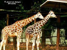 Giraffes:© Shennell B. Rodriguez Photography