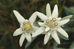 The rarest of all flowers in the Alps is the EDELWEISS. It grows only very high up in the mountains.