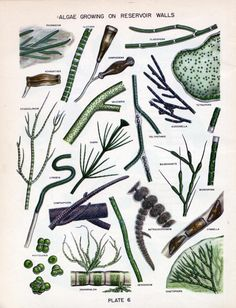 Algae in water supplies: an illustrated manual on the identification, significance, and control of algae in water supplies., Page: 45 | UNT Digital Library