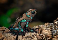 Some frogs  can jump over 20 times their own body length; that is like a human jumping 30m.