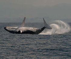 Playful humpback whale doing a backflip. Photo by: @natoliunderwater