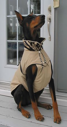 The Doberman Pinscher is among the most popular breed of dogs in the world. Known for its intelligence and loyalty, the Pinscher is both a police- favorite Black Doberman, Doberman Love, Doberman Pinscher, Alter Pullover, Pet Style, Dog Coats, Training Your Dog, Beautiful Dogs, Animals