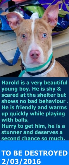 SAFE 2-4-2016 --- Manhattan Center – P  My name is HAROLD. My Animal ID # is A1063612. I am a male red merle and white am pit bull ter and catahoula mix. The shelter thinks I am about 1 YEAR 1 MONTH old.  I came in the shelter as a STRAY on 01/26/2016 from NY 11216, owner surrender reason stated was STRAY. http://nycdogs.urgentpodr.org/harold-a1063612/