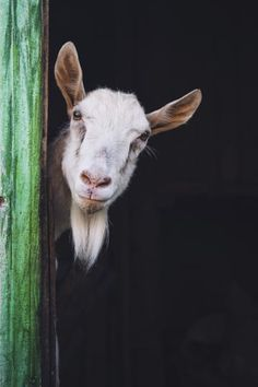 """""""Don't be afraid to poke your head around the corner, because opportunity is EVERYWHERE!"""" farm animals 21 Inspirational Quotes From Goats Farm Animals, Animals And Pets, Funny Animals, Cute Animals, Goat Paintings, Animal Paintings, Beautiful Creatures, Animals Beautiful, Regard Animal"""