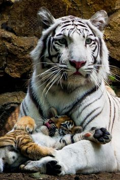 Indira the white Bengal tigress with two of her three cubs