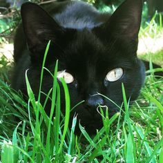 Black CÅt§ in =^.^= the grass