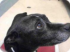 Tampa, FL - Boston Terrier Mix. Meet MISSY, a dog for adoption. http://www.adoptapet.com/pet/10311221-tampa-florida-boston-terrier-mix