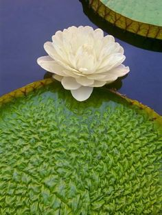 Photographic Print: Giant Water Lily, Victoria Regia Poster by Frans Lanting :