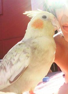 LOST COCKATIEL: 01/10/2017 - Zetland, New South Wales, NSW, Australia. Ref#: L37348 - #CritterAlert #LostPet #LostBird #LostParrot #MissingBird #MissingParrot #LostCockatiel #MissingCockatiel